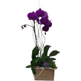 Orquídea Ilusión