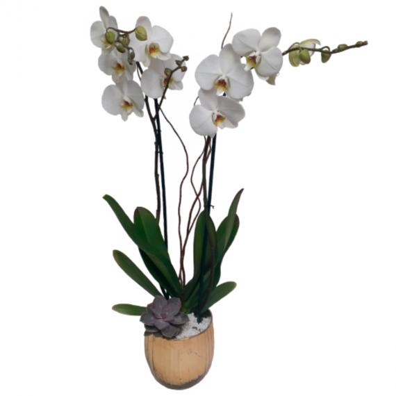 Orquídea Lucy