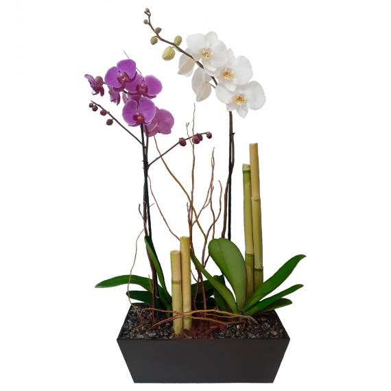 Orquídea Fugaz
