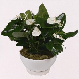 Planta de Anturio