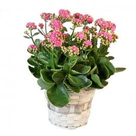 Orquídea Grace