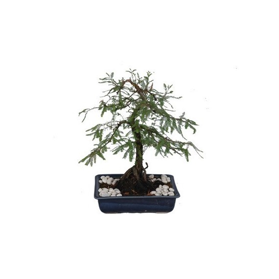 Bonsai Ahuehuete