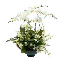 Mundo de orquídeas platino