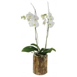 Orquidea maite