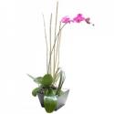 Orquídea Phalenopsis II