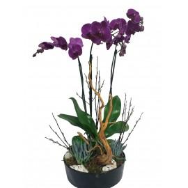 Orquídea Haida
