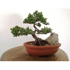 bonsai junipero